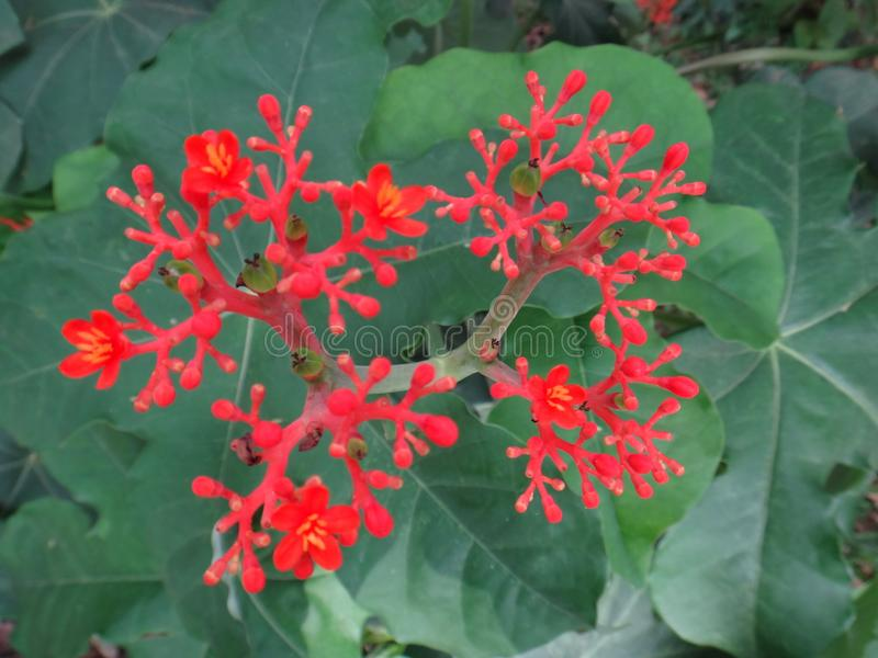 Fleurs de Jatropha images libres de droits