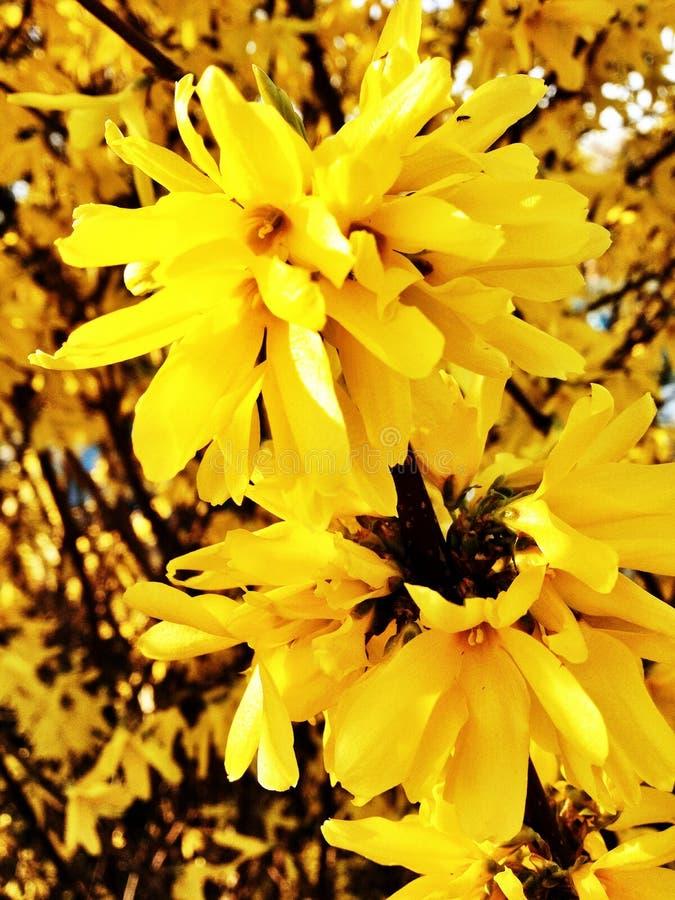 Fleurs de jaune de suspensa de forsythia  image libre de droits