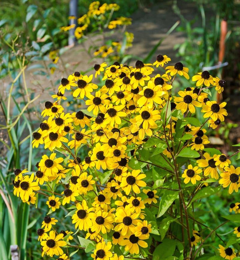 Fleurs de jaune de triloba de Rudbeckia (Susan browneyed, Susan aux yeux bruns, coneflower mince-leaved, coneflower trois-leaved) photographie stock libre de droits