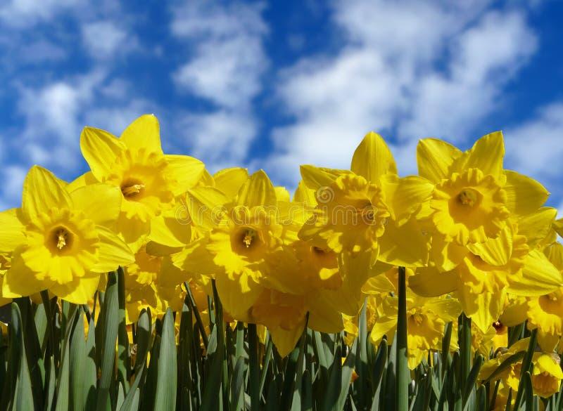 download fleurs de jonquille en fleur image stock image du fleur beaut 7493917 - Fleur Jonquille