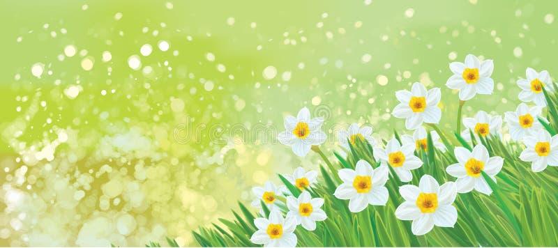 Fleurs de jonquille de vecteur illustration libre de droits