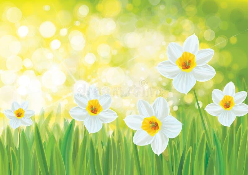Fleurs de jonquille de vecteur illustration stock