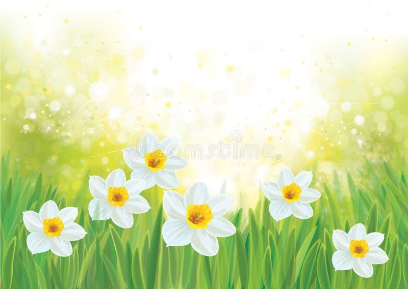 Fleurs de jonquille de vecteur sur le fond de ressort illustration stock