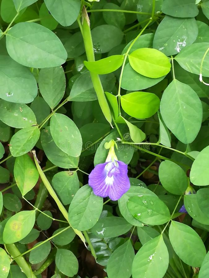 fleurs de katarolu dans Sri Lanka photographie stock libre de droits