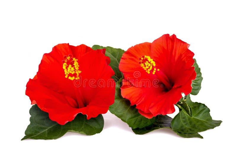 Fleurs de ketmie photos libres de droits