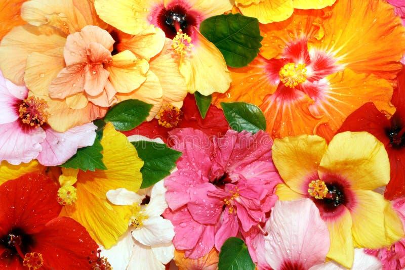 Fleurs de ketmie image libre de droits