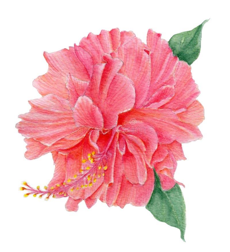 Fleurs de ketmie Ketmie de fleur sur le fond blanc Illustration botanique peinte à la main d'aquarelle d'une ketmie illustration stock
