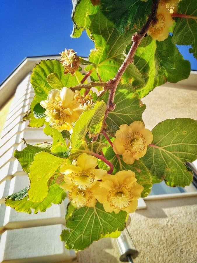 Fleurs de kiwi photographie stock