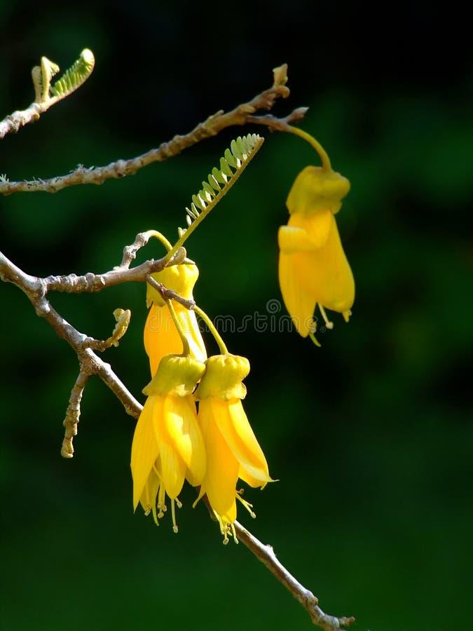 Fleurs de Kowhai image libre de droits