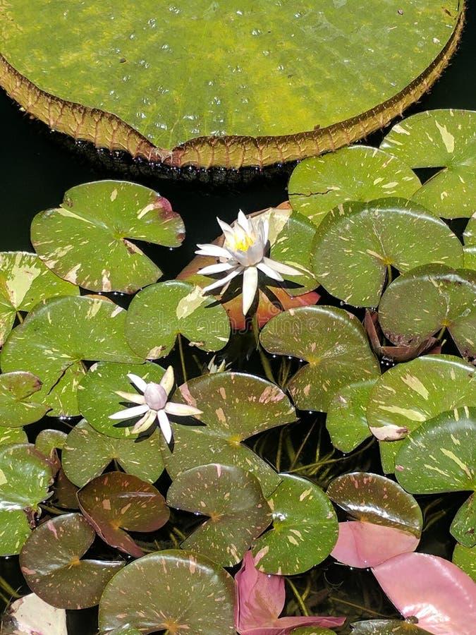 Fleurs de l'eau blanche images libres de droits