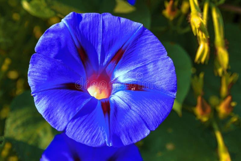 Fleurs de l'herbe à lixiviation de la plante, considérée comme une herbe et une plante ornementale photos stock
