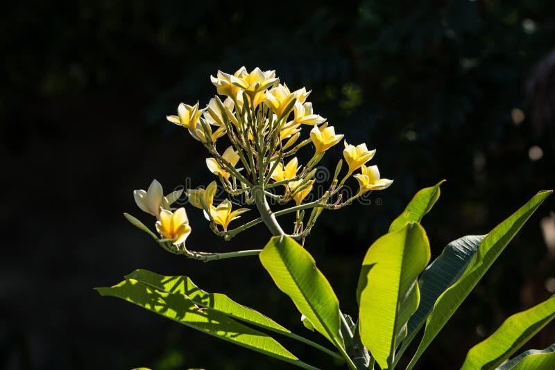 Fleurs de l'Indonésie image libre de droits
