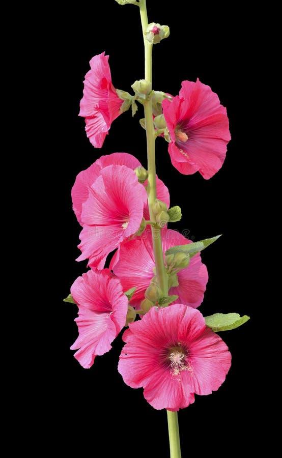 Fleurs de la mauve 11 photo stock