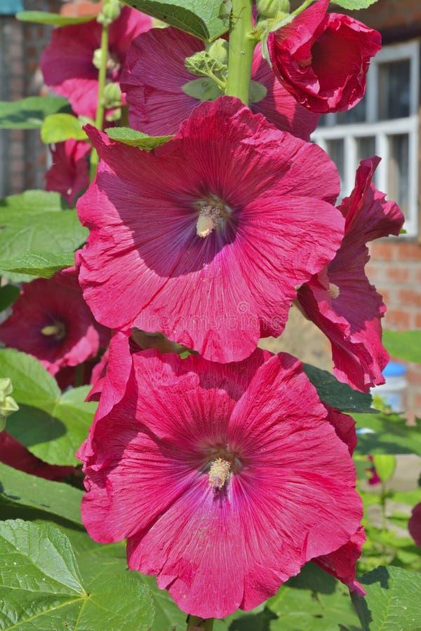 Fleurs de la mauve 8 photographie stock libre de droits