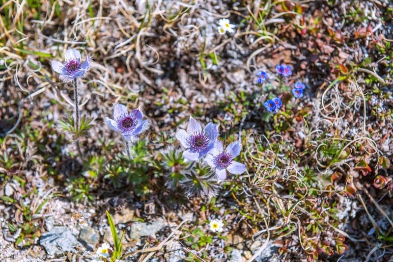 Fleurs de la toundra images libres de droits