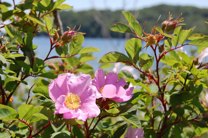Fleurs de lac summer photos libres de droits