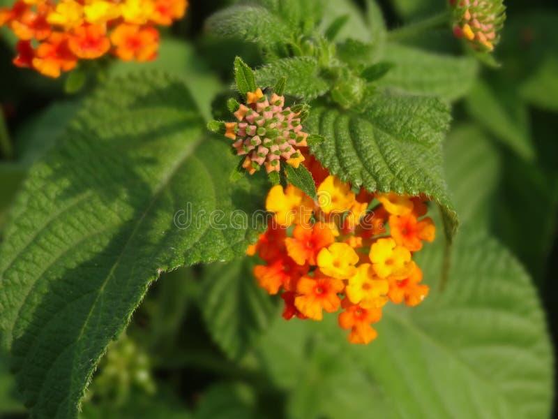 Fleurs de Lantana avec les feuilles vertes photographie stock libre de droits
