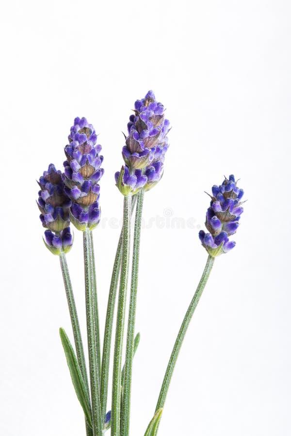 Fleurs de lavande d'isolement au-dessus du fond blanc photo stock