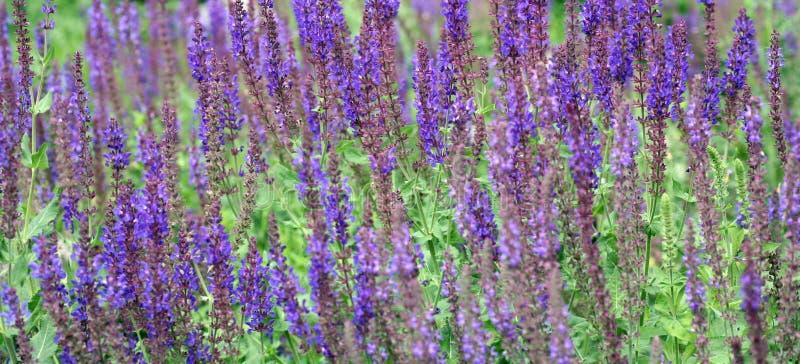 Fleurs de lavande dans le jardin images libres de droits