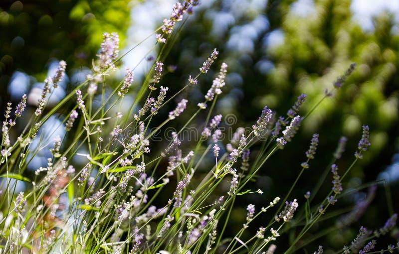 Fleurs de lavande dans le jardin Foyer s?lectif photo libre de droits