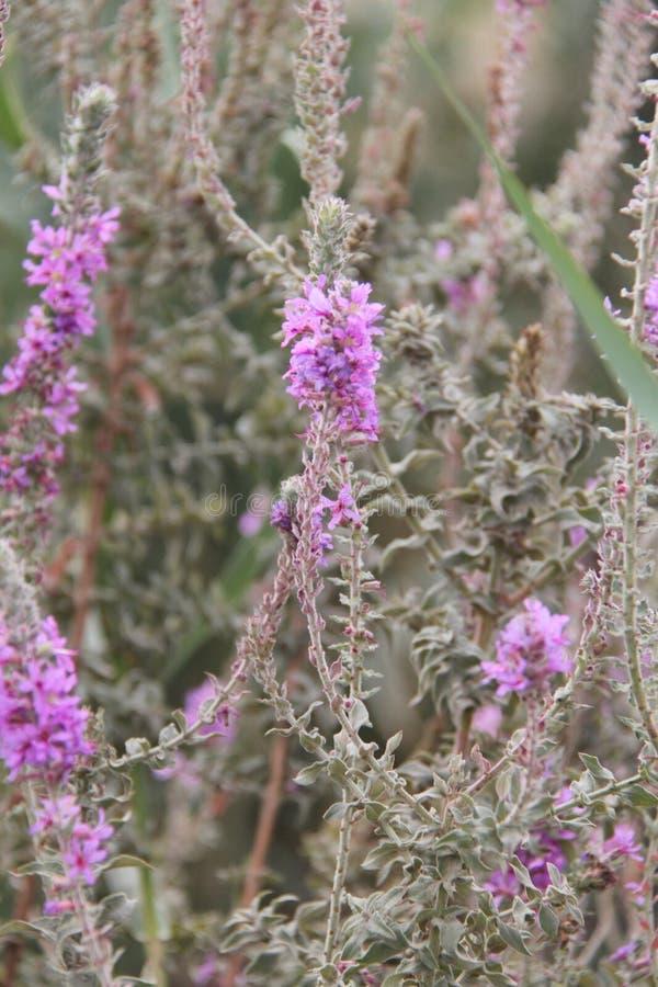 Fleurs de lavande en fleur image stock