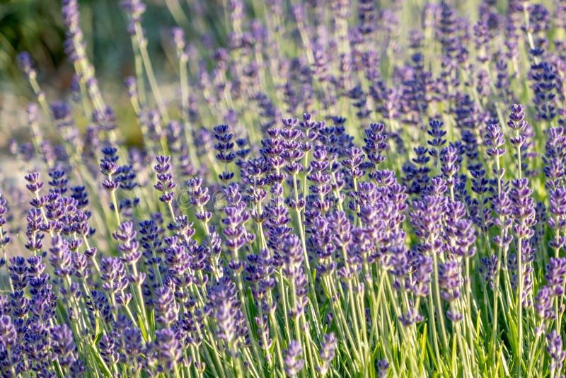 Fleurs de lavande en fleur image libre de droits