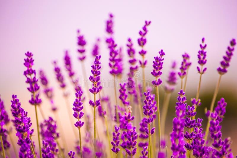 Fleurs de lavande fleurissant dans le domaine photo stock