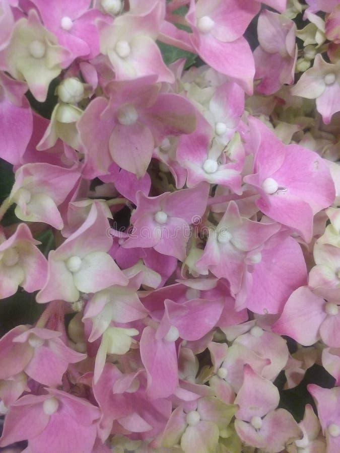 Fleurs de Lil photo libre de droits