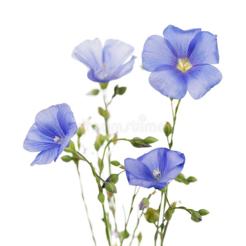 Fleurs de lin image libre de droits