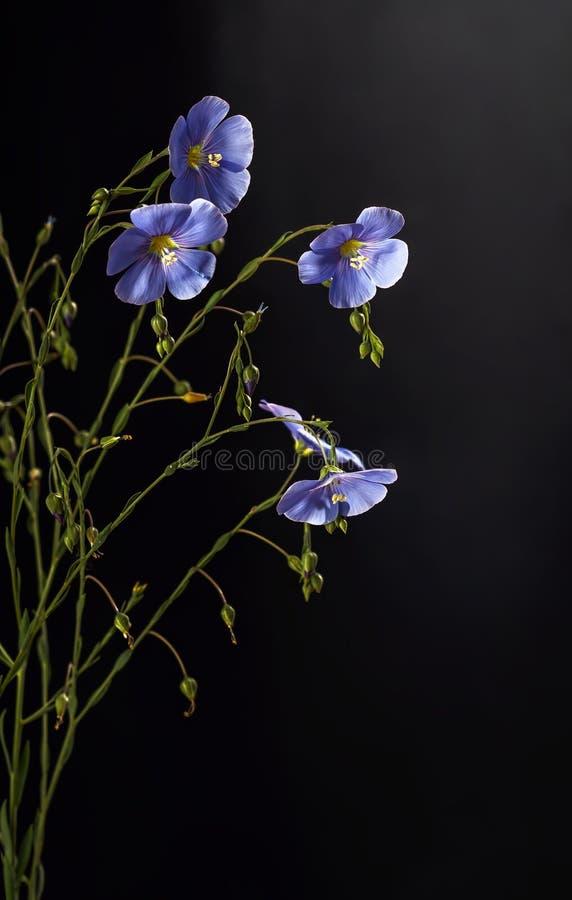 Fleurs de lin images stock