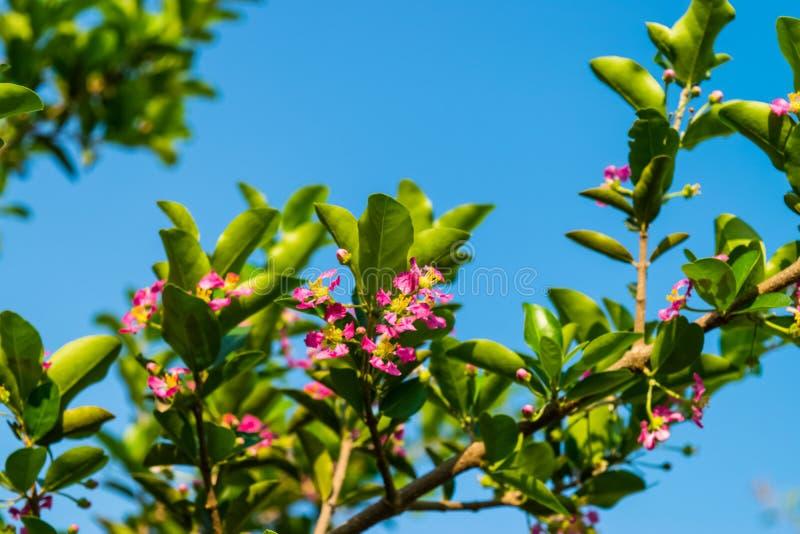 Fleurs de Linn de glabra de malpighie photo libre de droits