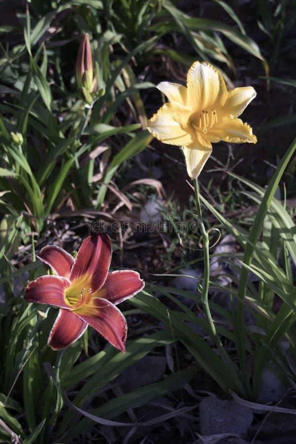 Fleurs de lis dans le feuillage photo libre de droits