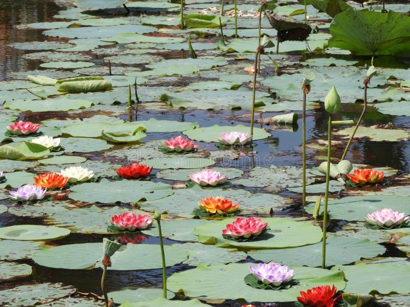 Fleurs de Lotus, bourgeon et cosse de graine image stock