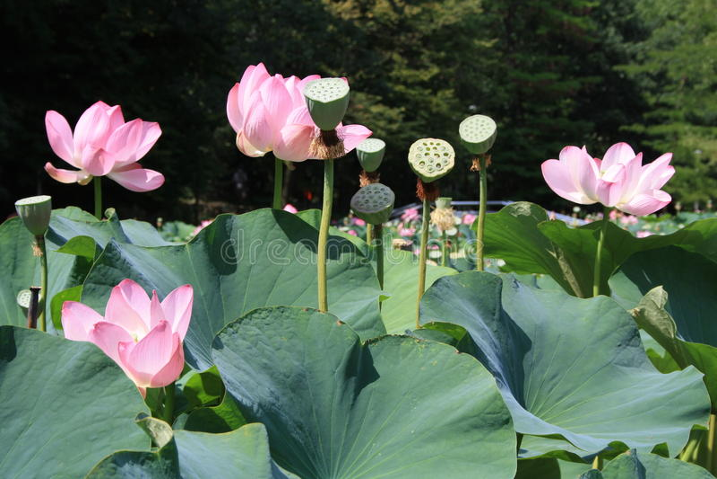 Fleurs de lotus roses image libre de droits
