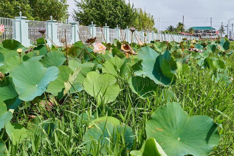 Fleurs de lotus roses de côté de route à Georgetown, Guyane photo stock