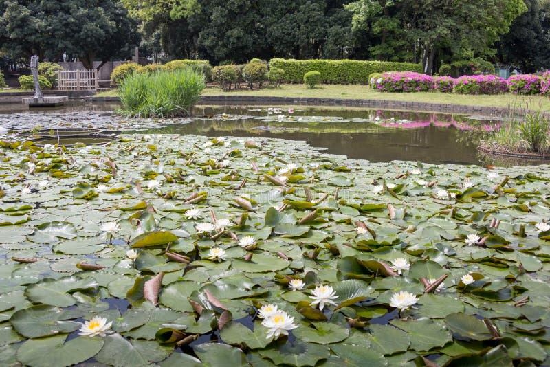 Fleurs de Lotus sur l'?tang image libre de droits