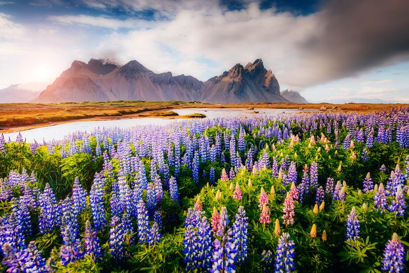Fleurs de loup magiques rougeoyant par lumière du soleil photo libre de droits