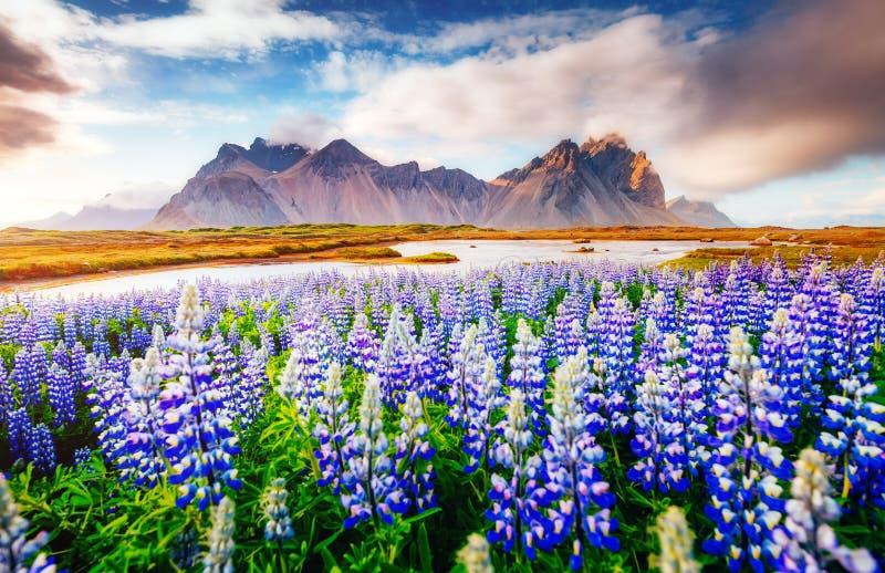 Fleurs de loup magiques rougeoyant par lumière du soleil photos libres de droits