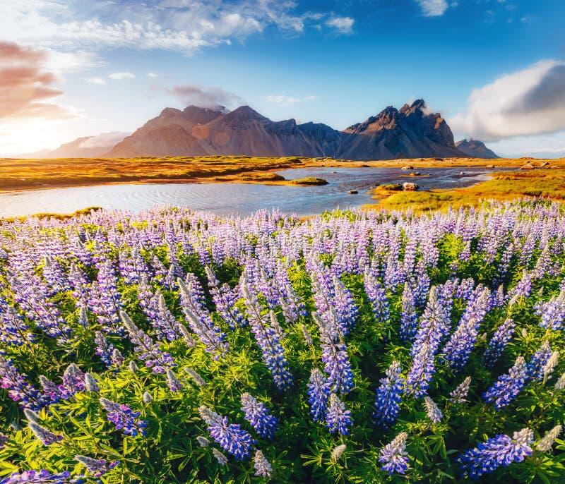 Fleurs de loup magiques rougeoyant par lumière du soleil image libre de droits