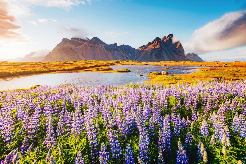 Fleurs de loup magiques rougeoyant par lumière du soleil photographie stock libre de droits