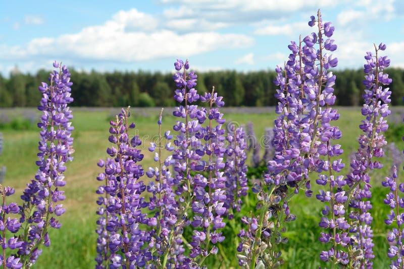 Fleurs de loup sauvages dans un domaine contre le contexte du fond de forêt des fleurs pourpres et du ciel bleu images libres de droits