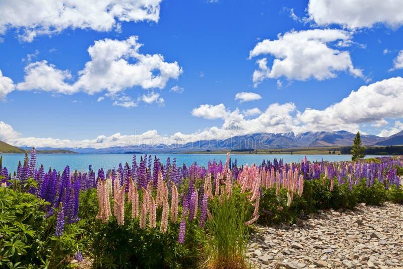 Fleurs de lupin image stock