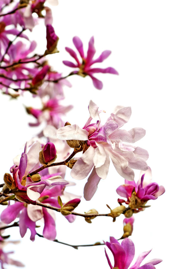 Fleurs de magnolia photo libre de droits