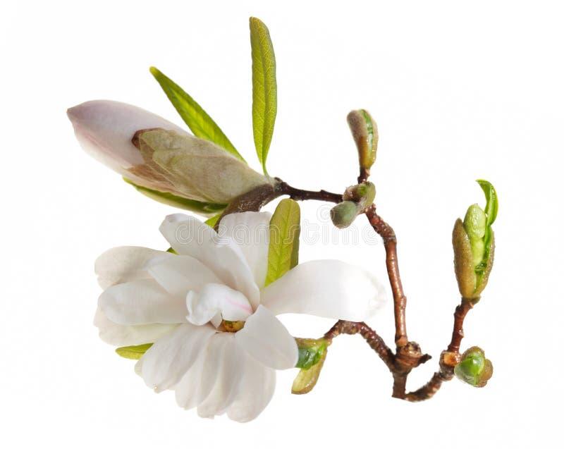 Fleur De Bourgeon De Magnolia Image stock - Image du ...