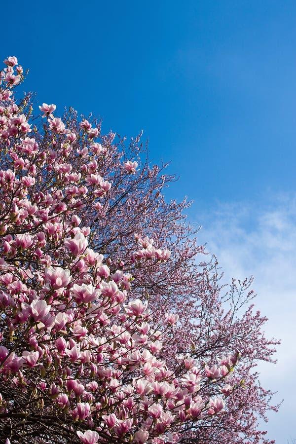 fleurs de magnolia image libre de droits