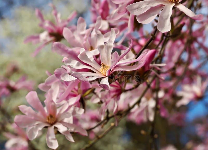 Fleurs de magnolia au printemps dehors photo libre de droits