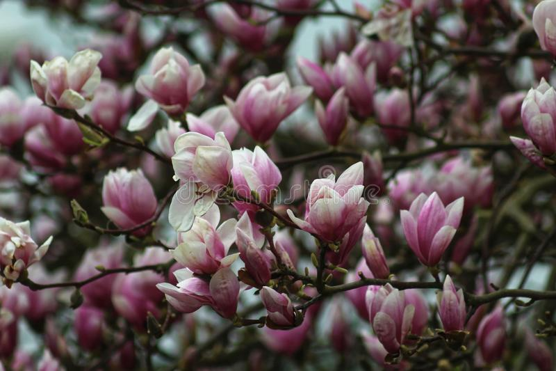 Fleurs de magnolia dans le printemps photo libre de droits