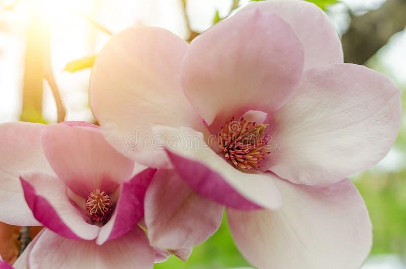 Fleurs de magnolia sur l'arbre images stock