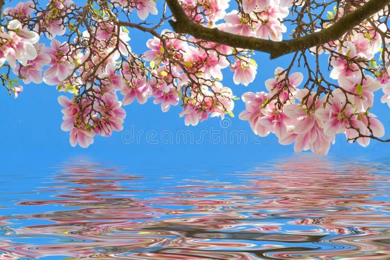 Fleurs de magnolia sur l'eau claire image libre de droits