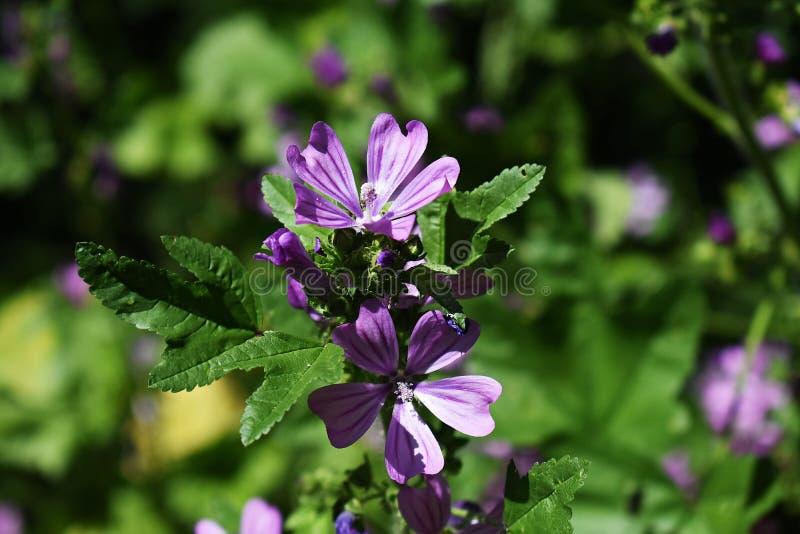 Fleurs de Malva Sylvestris dans le jardin image stock